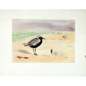 Print Fine Art Antique Grey Plover Birds 1924 Color