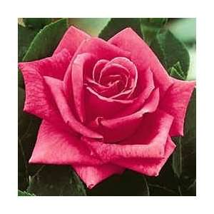 Miss All American Beauty Hybrid Tea Rose   Plant:  Kitchen