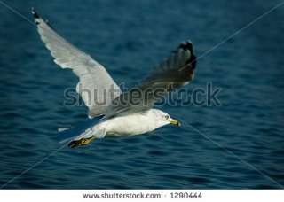 Bird Flying Over Water Stock Photo 1290444  Shutterstock