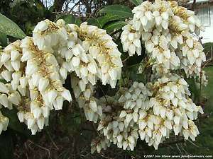 LILY OF THE VALLEY BUSH Pieris japonica   50+EXTRA seeds