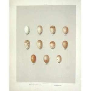 Birds Eggs Skylark Woodlark Antique Colour Print