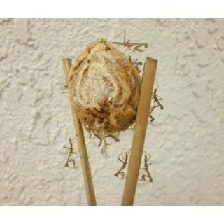 Praying Mantis Egg Case   2 Praying Mantids Egg Cases   Live Good Bugs