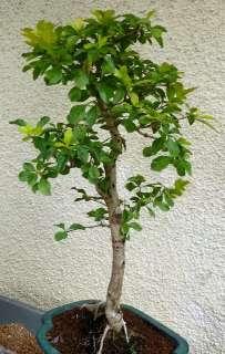- 134378603_bonsai-indon-durantha-47cm-12jahre-1-ebay