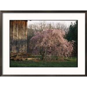 A Japanese Weeping Cherry Tree Blooms Beside an Old Barn
