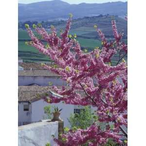 Flowering Cherry Tree and Whitewashed Buildings, Ronda, Spain Premium
